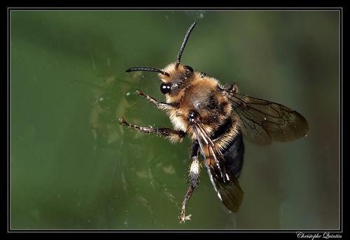 Melecta albifrons mâle