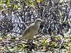 Squacco Heron by Mandara Birder