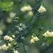 Asparagus umbellatus 5542-1; Asparagaceae (1)