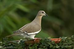 tórtola aliblanca / White-winged Dove (Zenaida asiatica)