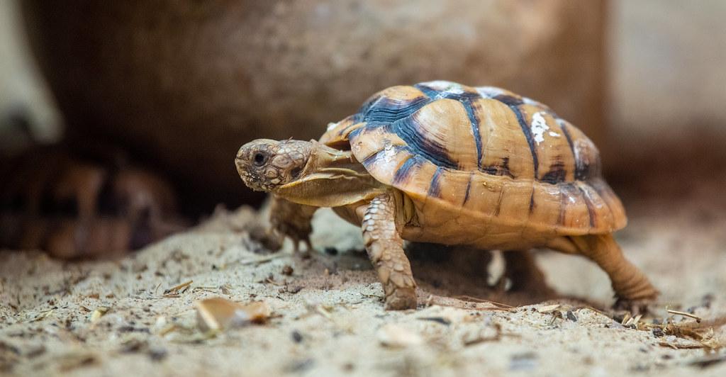 Egyptian Tortoise_5
