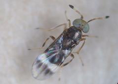 Microterys hortulanus