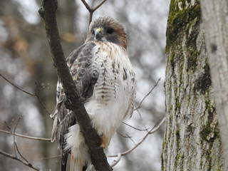 Red Tailed Hawk. Photo by Pat McGuigan.