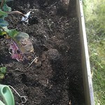 Stewart island  potato planting in Vege garden plot 2 by shiny