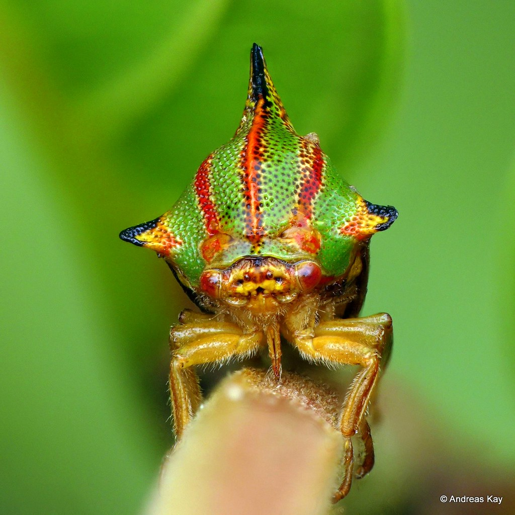 Treehopper, Umbonia ataliba, Membracidae