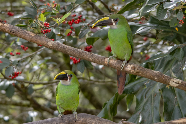 Mr. & Mrs. Emerald toucanet