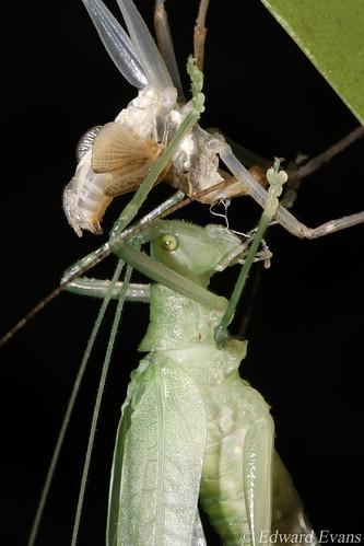 Katydid shedding (Tettigoniidae)