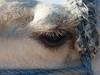 Velbloudí oko, foto: Petr Nejedlý