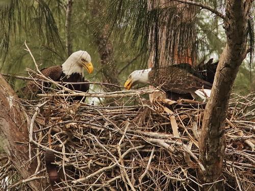 Bald Eagle 6197-20190125