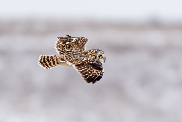 Short-eared Owl Flight, Nikon D500, AF-S Nikkor 200-500mm f/5.6E ED VR