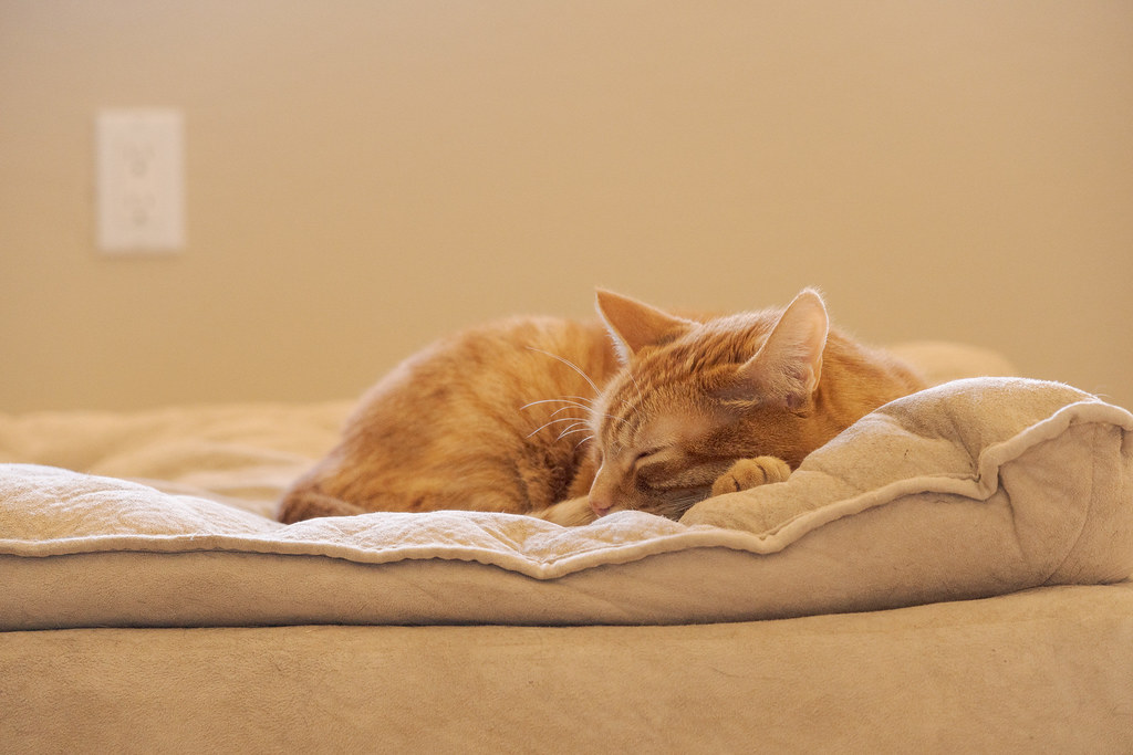 Our cat Sam sleeps on one of the dog beds on a sunny afternoon at our new house in Scottsdale, Arizona