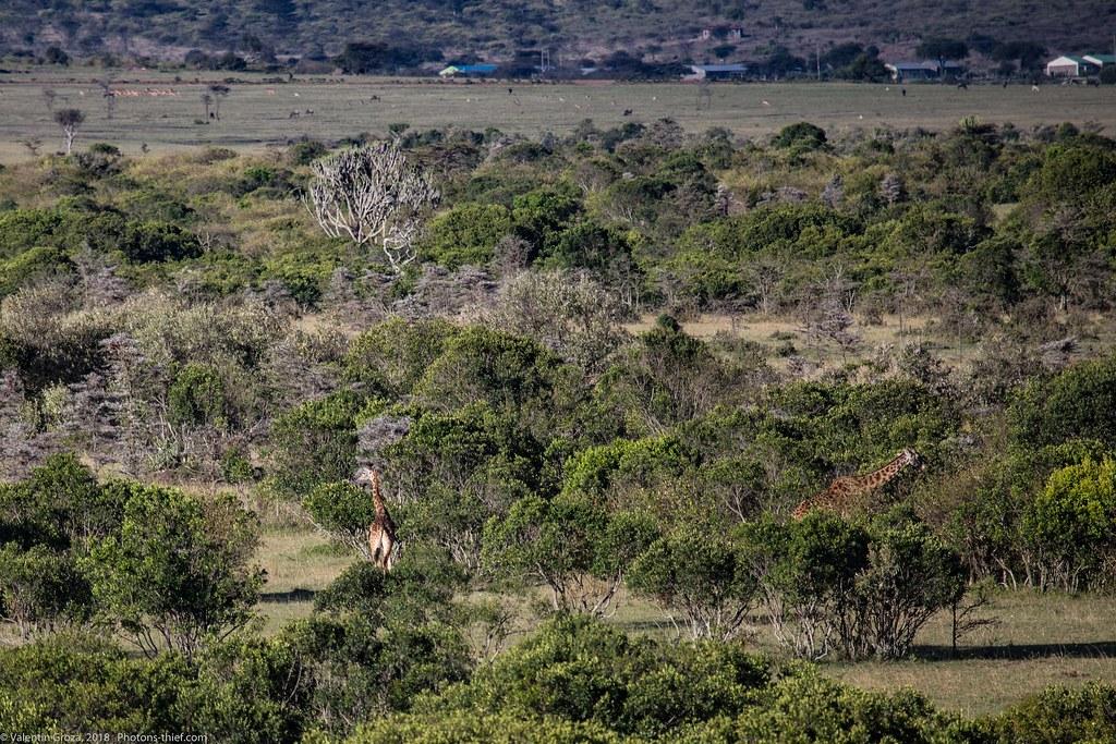 Girafe_septembrie 01_Maasai Mara_gradina