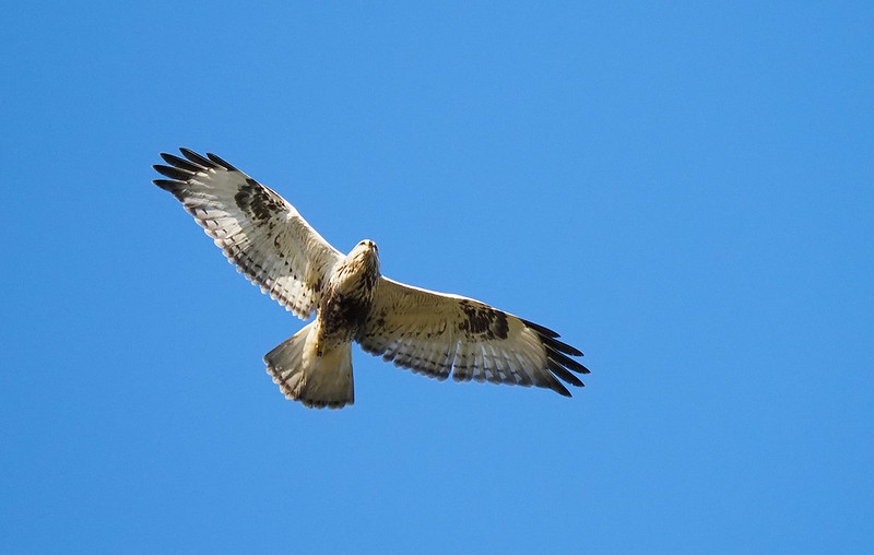 Rough-legged Buzzard - not epic but shows underwing pattern and tail