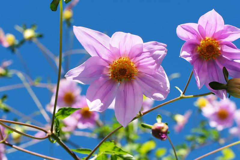 Dahlia imperialis  キダチダリア