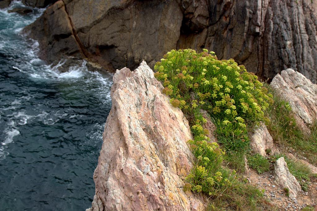 plantas de litoral, plantas de acantilados, Cenoyo de mar, hinojo marino, uña de perro, cresta marina, perejil de mar,
