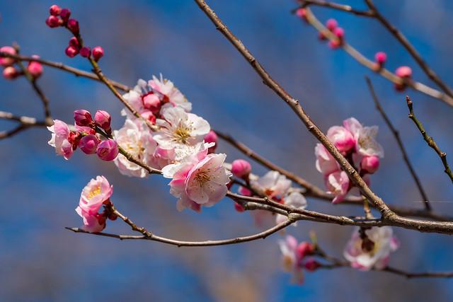 民家に咲く梅