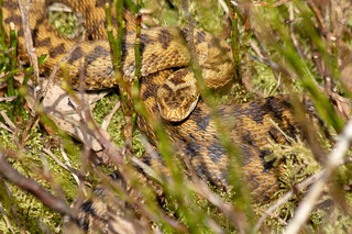 Look into my eyes... Adder from earlier on in the year