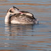 great crested grebe preening