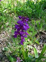 2017-04-23 - Rando des cerisiers à Bessenay (22), Orchidées violettes - Photo of Saint-Clément-les-Places