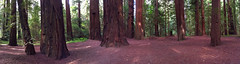 Redwood Forest in CA