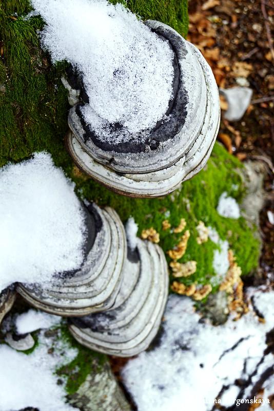 Трутовики, присыпанные снегом