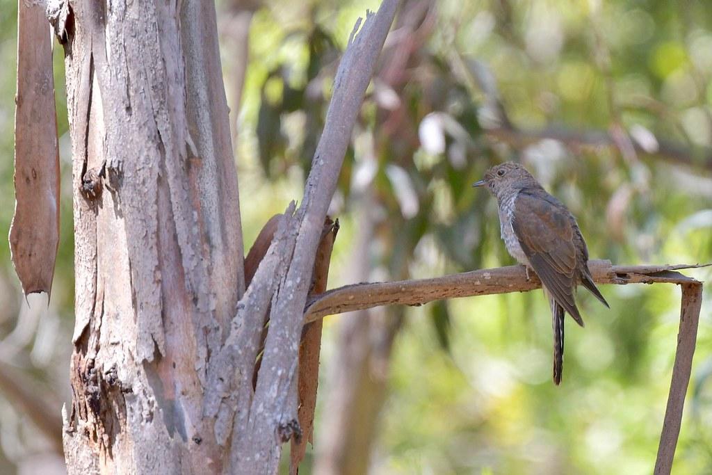 Fan- tailed Cuckoo