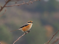 Bull-headed shrike (Lanius bucephalus, モズ)