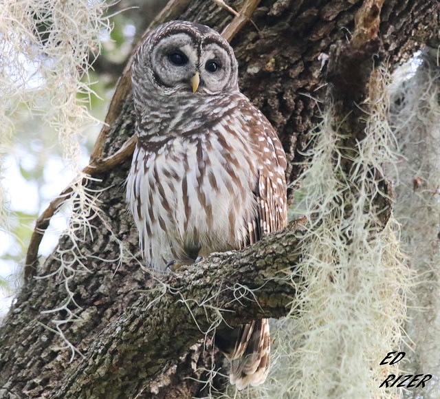 BARRED OWL - The, Canon EOS REBEL T6I, Sigma 150-600mm f/5-6.3 DG OS HSM | C