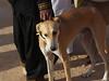 Festival International du Sahara: berberský pes sluga, foto: null