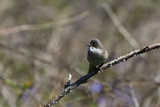 Common white throat _Pembs Wales May18 (1)