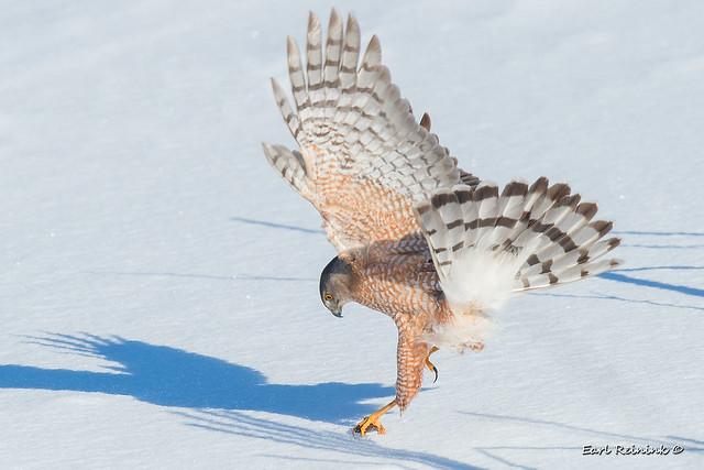 The eyes of a hawk