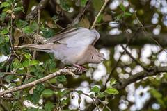 Belize, Eurasian Collared-Dove