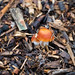Autumn fungi: redlead roundheads