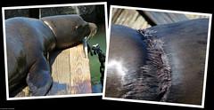 20180607_07 California sea lion (Zalophus californianus) with scar around his neck | Pier 39, San Francisco, California