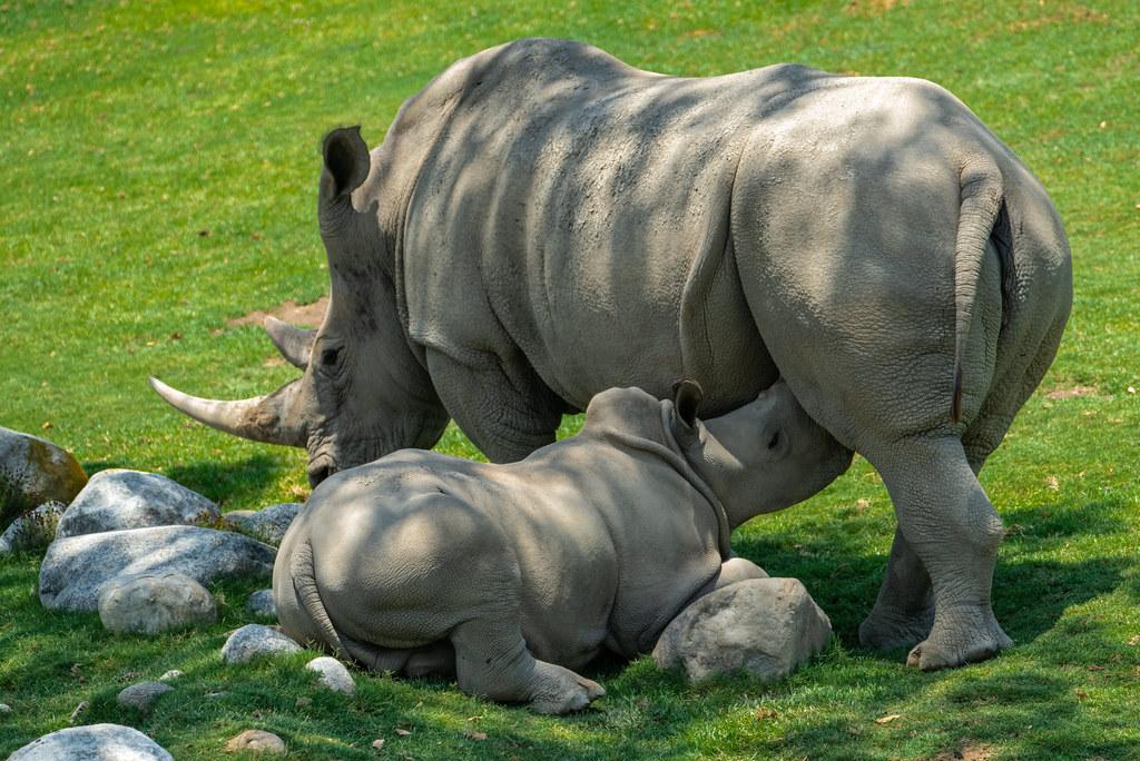 White Rhino_14