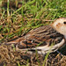 A Beautiful Snow Bunting