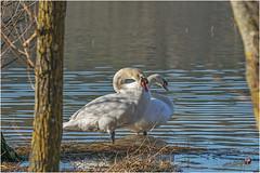 Etang (lac) de Marcenay (cygne)