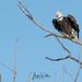 WAS_9793 Bald Eagle