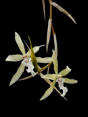 Orquídea, Orchid