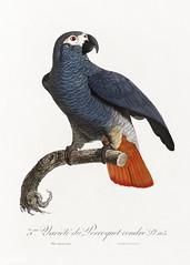 African grey parrot vintage poster