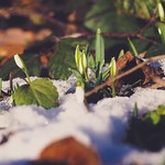 Snowdrop Bokeh - 20. Januar 2019 - Schleswig-Holstein - Germany