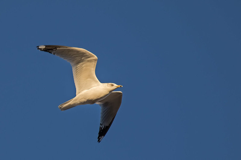 Ring-Billed-Gull-25-7D2-122018