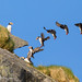 Rough Puffin Landing by GunnarImages (Gunnar Haug)