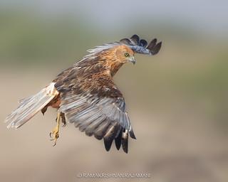 Western Marsh Harrier #205