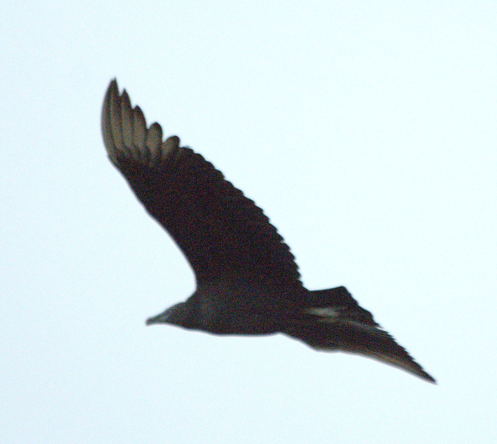 Black Vultures?