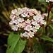 Viburnum tinus; Adoxaceae (1)