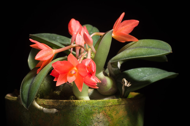 Photo:[Provincia de Corrientes, Argentina] Cattleya cernua (Lindl.) Van den Berg, Neodiversity 5: 13 (2010) By sunoochi
