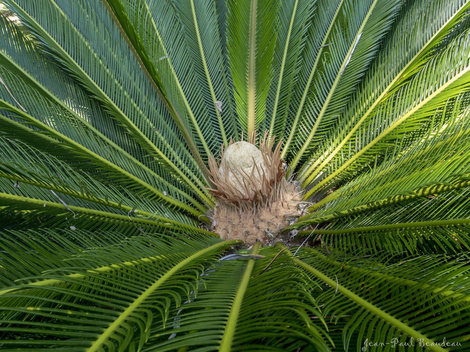 fleur ou fruit du Cycas 45930522451_ab82343a16_h