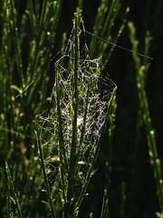 20080907 31683 1008 Jakobus Ginster Spinnweben_K_01a - Photo of La Chaze-de-Peyre