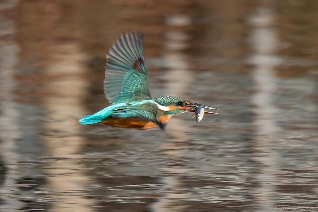 20181224-kingfisher-DSC_0441